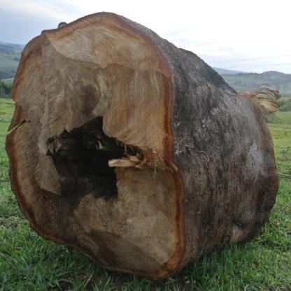 Store træer fjernes
