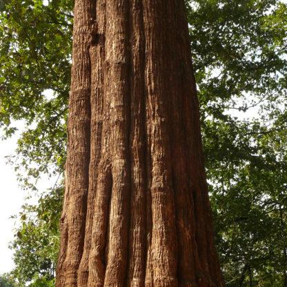 teaktræ